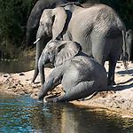 Elephants on a beach, Sabi Sands Game Reserve, South Africa
