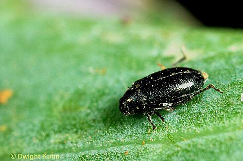 1C32-001b  Flea Beetle