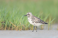 Black-bellied Plover (Pluvialis squatarola) at Fort Desoto Park, near St. Petersburg, Florida.