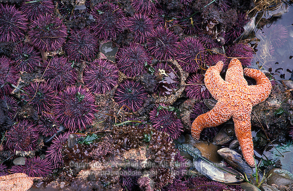 jz1141. Purple Sea Urchins (Stronglyocentrotus purpuratus) and Ochre Sea Star (Pisaster ochracheus) in tidepool at low tide. Oregon Coast, USA, Pacific Ocean..Photo Copyright © Brandon Cole. All rights reserved worldwide.  www.brandoncole.com..This photo is NOT free. It is NOT in the public domain. This photo is a Copyrighted Work, registered with the US Copyright Office. .Rights to reproduction of photograph granted only upon payment in full of agreed upon licensing fee. Any use of this photo prior to such payment is an infringement of copyright and punishable by fines up to  $150,000 USD...Brandon Cole.MARINE PHOTOGRAPHY.http://www.brandoncole.com.email: brandoncole@msn.com.4917 N. Boeing Rd..Spokane Valley, WA  99206  USA.tel: 509-535-3489