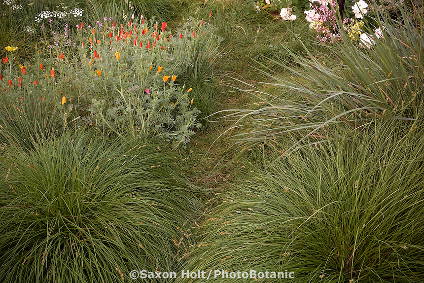 Narrow grassy sedge path of Carex pansa between larger Carex divulsa, poppies and Tripsacum dactyloides in backyard meadow garden