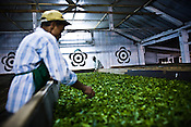 Factory workers are seen spreading the first flush Darjeeling tea leaves' pluck during the weithering process at Makaibari Tea Estate factory, Kurseong in Darjeeling, India.