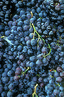 Fredonia Grapes (Vitis) black seedless grape variety many picked fruits harvested