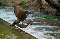 KRUGER NATIONAL PARK, SOUTH AFRICA, DECEMBER 2004.   Hamerkop birds fish in the swollen river while the fish move upstream. Kruger National Park offers good viewing of the 'Big Five' and many other species. Photo by Frits Meyst/Adventure4ever.com