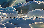 Arctic terns on icebergs, Iceland