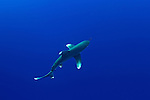 Carcharhinus longimanus of Red Sea...