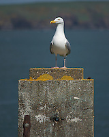 Kittiwake on Pier,Dunmore East