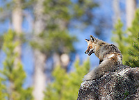 Yellowstone Spring 2015 Wildlife & Scenery