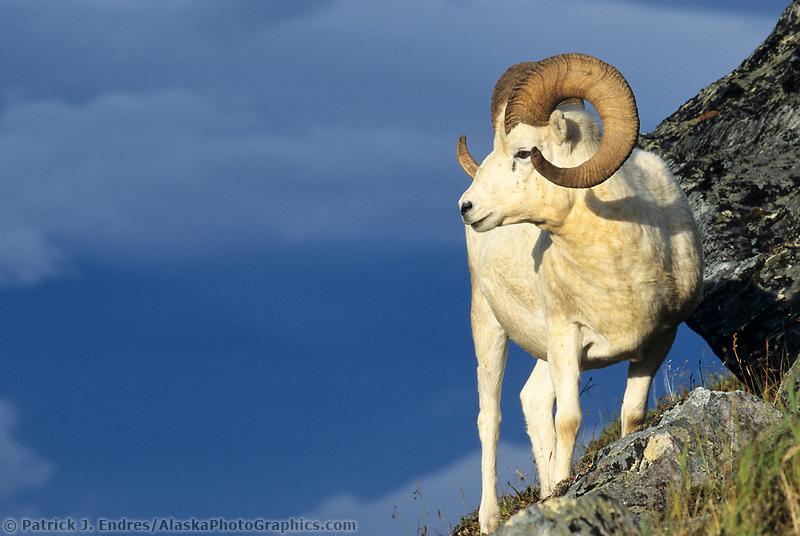 Dall sheep, Denali National Park, Alaska