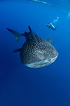 Whalesharks, Indonesia