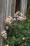 Antique roses, growing against a weathered barn, Martha's Bloomers Nursery, near Navasota, Texas. May