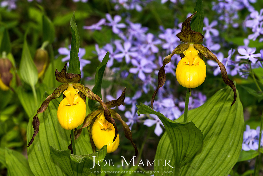 Yellow Lady's Slipper flower Cypripedium calceolus at the University of Minnesota Landscape Arboretum.