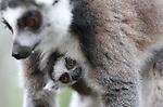 Foto: VidiPhoto<br /> <br /> RHENEN - In Ouwehands Dierenpark in Rhenen begint de lente wel heel uitbundig. Met een geboortegolf bij de ringstaartmaki's. Het is al enige tijd geleden dat er zoveel maki's tegelijk zijn geboren in Ouwehands vanwege ruzie in de groep. De geboorte van het viertal, waaronder een tweeling, is het beste bewijs dat de vrede weer is teruggekeerd. Hoewel... nu het mannetje zijn werk heeft gedaan is hij niet meer welkom bij de dames. Maki's komen in het wild voor in de bossen van Madagaskar. Daar worden de jongen echter in augustus en september geboren en niet in het voorjaar. Een dominant vrouwtje is de baas.