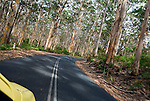 Driving through the Boranup Karri Forest.  Leeuwin-Naturaliste National Park, Western Australia, AUSTRALIA.