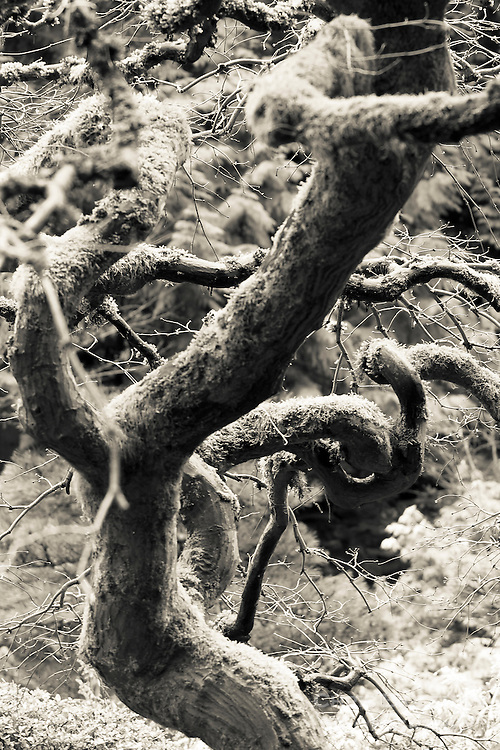 Black and White (B&W) of leafless moss covered curly branches and large trunk of Japanese Maple in Winter in the Portland Japanese Garden