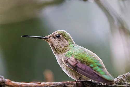 Anna's Hummingbird, Perched, Snohomish County, Washington