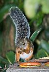 Variegated squirrel, Sciurus variegatoides, taking fruit from a bird feeder in the gardens of the Hotel Bougainvillea, San Jose, Costa Rica