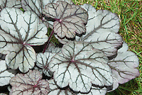 Silver and purple foliage of Heuchera 'Cinnabar Silver'