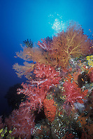Competition for space is fierce among colorful soft corals, gorgonians and encrusting sponge, all of which are perched on a current-prone outcropping, an ideal location for the steady supply of plankton and nutrients these filter feeders depend upon. Barren Island, Andaman Islands, India, Andaman Sea, Indian Ocean