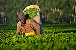 A worker labors on a tea plantation in near Thyolo, in southern Malawi.