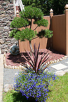Phormium and Lobelia erinus blue flowers in container pot next to garden path of stones next to house, evergreen conifer pine tree topiary shaped