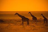 Giraffes on Ethosha Pan, Namibia, Africa.Giraffa camelopardalis