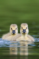 Pair of goslings swimming in a pond