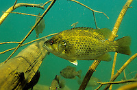 Rock Bass, Underwater
