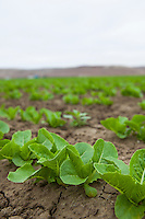 Romaine lettuce fields, D'Arrigo Farms; Salinas Valley, California