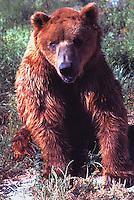Kodiak Bear aka Alaskan Grizzly Bear and Alaska Brown Bear (Ursus arctos middendorffi)
