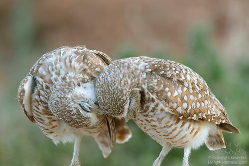 Burrowing Owls Cuddling, Zanjero Park, Gilbert, Arizona