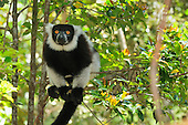 Black-and-white Ruffed Lemur (Varecia variegata variegata), Toamasina, Tamatave, Eastern Madagascar