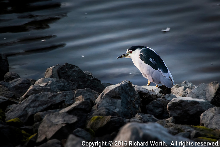 A Black crowned night heron stands on the rocky shore of the San Leandro Marina at dusk.