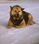 Huskies Hi Res