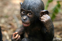 Bonobo male baby aged 10 months portrait (Pan paniscus), Lola Ya Bonobo Sanctuary, Democratic Republic of Congo.