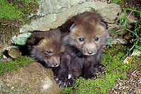 two red fox kits, Vulpes fulva, peer out of their den when they are  3 weeks old