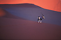 Gemsbok (Oryx antelope) crossing sand dunes at sunset, Namib Desert, Sossusvlei, Namibia