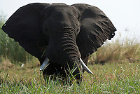 An elephant (loxodonta africana) grazing on Sedudu Island in the Chobe River, Botswana. Chobe National Park is full of elephants - at times an estimated 25.000 animals along 42 kilometers of river front. The huge number of hungry elephants have a disastrous impact on the forest - many areas looks like a moon landscape.<br /> September 2007.