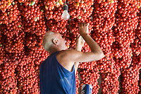Italian farmer Ponsiello Giovanni checking his harvest of pomodorino piennolo del Vesuvio tomatoes that have been hanging from the ceiling to dry for the winter