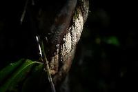Iquitos, Peru, September 13, 2013 - The Ayahuasca (Banisteriopsis caapi) vine,
