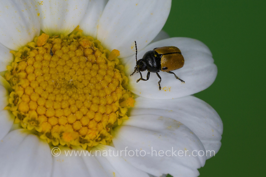 Fallkäfer, Blattkäfer, Blütenbesuch, Cryptocephalus rugicollis, Cadmus rugicollis, Leaf beetle