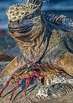 marine iguana (Amblyrhynchus cristatus), sally lightfoot crab, Espinosa Point, Fernandina Island, Galapagos Islands, Ecuador
