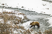 Grizzly bear walks across a open stream in the fresh winter snow in Atigun canyon, Brooks range, Alaska
