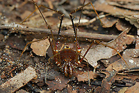 Cosmetid or Harvestman, an Arachnid on the forest floor (Cosmetidae, Order Opiliones), Allpahuayo Mishana National Reserve, Iquitos, Peru