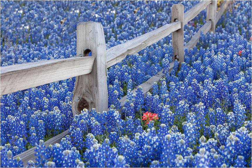 Along the fence row outside Llano, Texas, in the Texas Hill Country, a lone Indian Paintbrush pushed its way up through a field of bluebonnets.