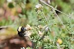 Bumblebee, Bombus californicus, Mount Diablo State Park, California