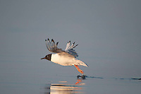 Bonaparte's Gull (Larus philadelphia) Taking Flight, Castine, Maine, US