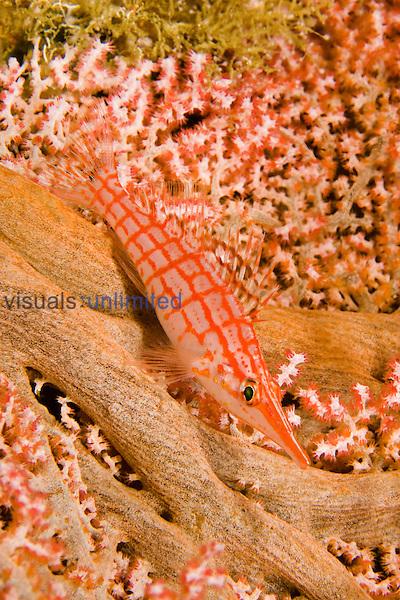 Longnose Hawkfish (Oxycirrhites typus) on a Gorgonian Coral, Indonesia.