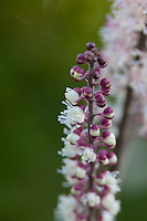 Actaea simplex 'Black Negligee' (Atropurpurea group).