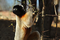Crowned sifaka (Propithecus coronatus) climbing a tree, an endangered species of the lemur family from Madagascar, in the Propithecus enclosure in the Zone Madagascar of the new Parc Zoologique de Paris or Zoo de Vincennes, (Zoological Gardens of Paris or Vincennes Zoo), which reopened April 2014, part of the Musee National d'Histoire Naturelle (National Museum of Natural History), 12th arrondissement, Paris, France. Picture by Manuel Cohen